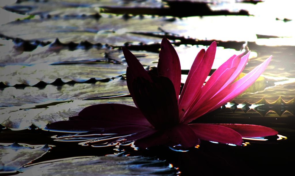 Foto Bunga Teratai